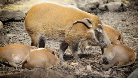 没有肥肉的猪, 一胎生8个幼崽, 吃货: 是时候将它引进中国了!