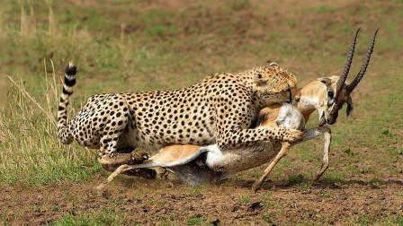 猎豹准备猎杀羚羊, 结果羚羊拼死反抗, 豹子这回吃大亏了!
