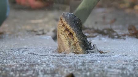 悲剧的鳄鱼,睡醒发现自己被冻住了,镜头记录全过程