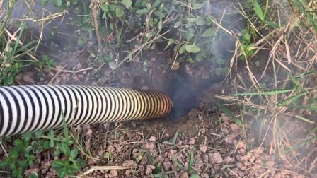 印度人把烟灌进老鼠洞,不出三分钟老鼠就被一窝端,老鼠:这招狠