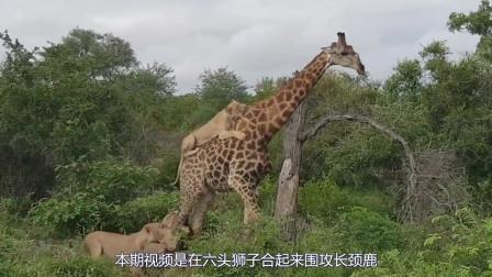 史上最大吃货!长颈鹿被6头狮子围攻淡定吃草,最后结果出乎意料