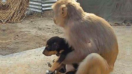 泼猴以大欺小玩弄小狗,各种耍流氓,一只不够再抓一只