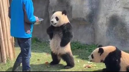 饲养员埋怨熊猫抢食,熊猫火了:我是国宝,注意你跟我说话的态度