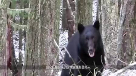 600斤野猪遇到500斤黑熊,野猪被瞬间秒杀,镜头拍下全过程