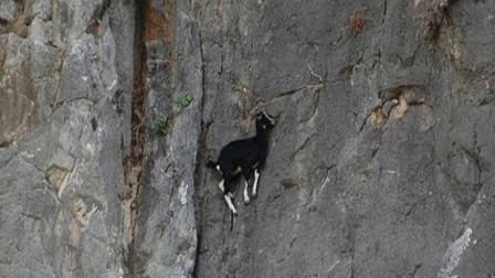 狐狸追捕峭壁上的山羊,下秒蒙圈了,狐狸:这货怎么做到的?