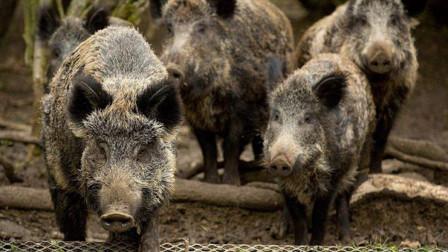 美国野猪泛滥,当地每年花费10亿美元管控,中国吃货:为何还不开吃?