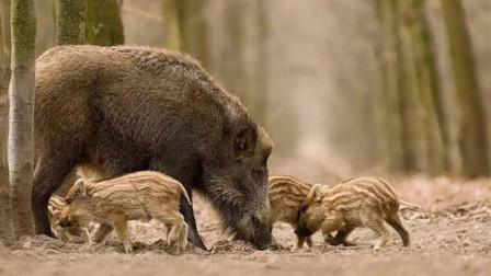 100万头野猪在意大利泛滥成灾,每年损失1亿,农民为何不抓来吃?