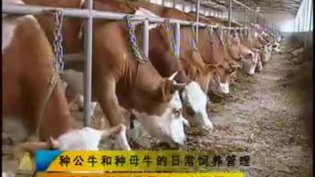 山东省西门塔尔牛肉牛养殖场的养殖技术_标清视频
