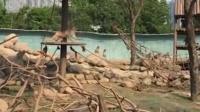 无人机拍摄惊扰猴群 猴王飞身一掌击落