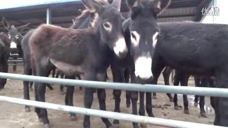 德州驴养殖技术 驴场建造技术