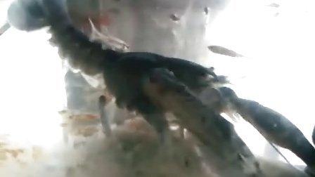 我的22cm大天空蓝魔虾