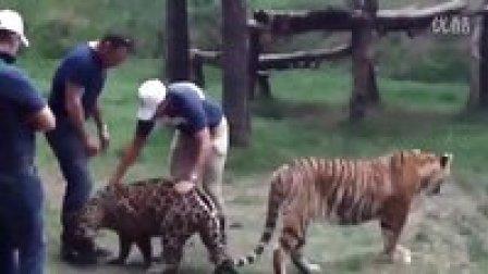 老虎VS美洲豹