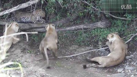 又一只公花豹VS三只母狮