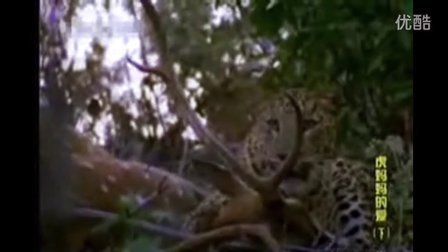 公花豹强势逼退雌虎 捍卫猎物