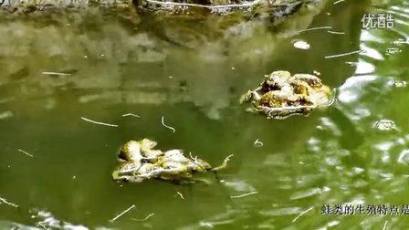 蛙儿闹春  . 蛙类的特殊现象---抱对