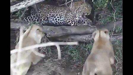 花豹和狮子打斗的所有视频【合集】