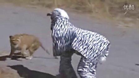 【youtube奇趣精选】二货青年作死假扮斑马,被狮群围攻惊险逃生