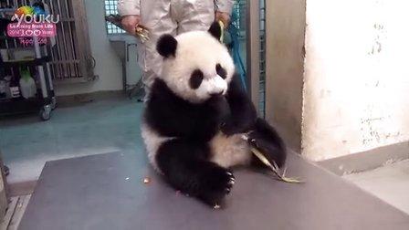 大熊猫圆仔品尝端午节大餐 ( Giant panda Yuan Zai )