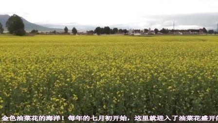 青海门源油菜花和岗什卡雪峰