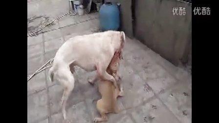 猛犬库达咬死比特犬视频 土佐犬打架视频 比特犬犬打架 惠比特犬