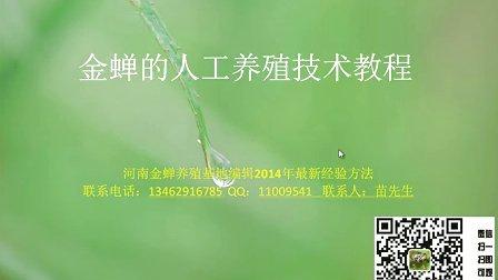 金蝉,金蝉养殖,金蝉养殖技术,人工养殖金蝉,金蝉养殖技术金蝉养殖教程最新-完整版
