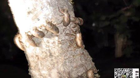 知了猴养殖,金蝉养殖,金蝉,养殖金蝉,之:挖掘金蝉地下生长与出土情况