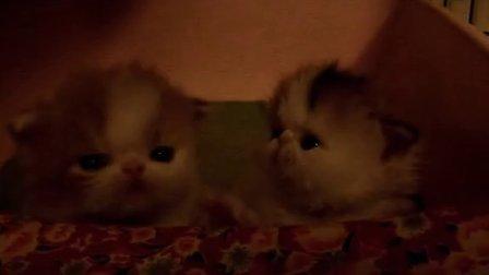 波斯传奇2014幼猫
