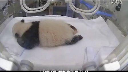 1分钟看熊猫满月蜕变