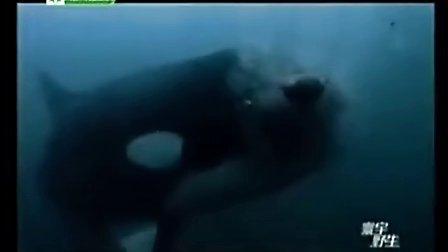 终极掠食者之虎鲸发威