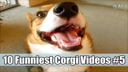 10个白痴柯基的精彩爆笑瞬间 Corgi Videos 5 iLove-Makeup