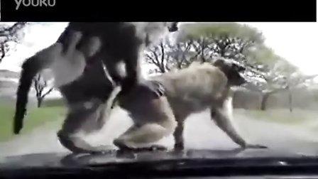 行车记录仪实拍:震惊的一幕,母猴爬上行进中的小车和公猴交配!