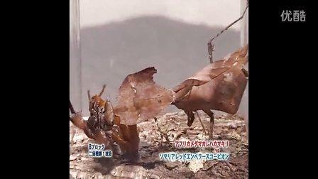 枯叶螳螂 VS 蝎子