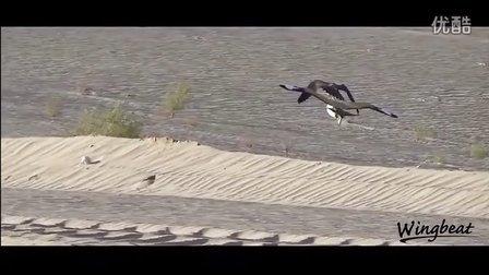 【中华鹰鹘苑】2014阿布扎比隼猎航拍视频