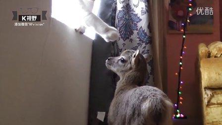 [K分享] 这是什么鬼?与小羊共处一室的猫咪