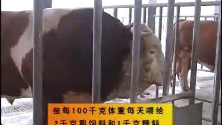 山东养牛场 肉牛养殖 鲁西黄牛 西门塔尔肉牛犊基地