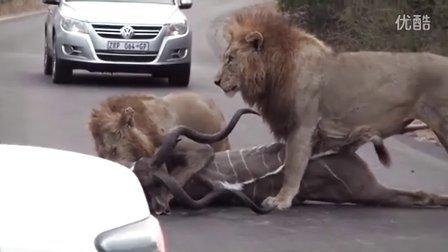 雄狮在汽车之间捕杀捻角羚-Kruger National Park.