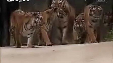 狮子大战老虎 1小时全集版