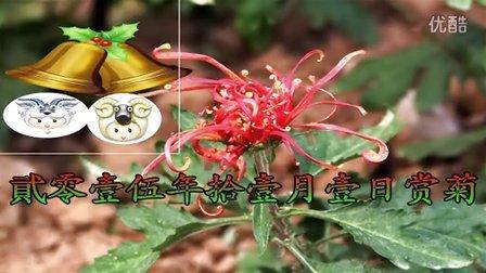 2015年11月1日观南京湖熟花卉菊花