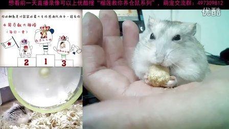 【榴莲教你怎么养仓鼠系列2】在仓鼠面前有人敢自称吃货?