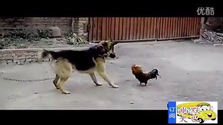 搞笑,公鸡居然和大狗搏斗,最后获的完胜。