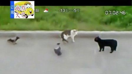 搞笑视频-黑猫帮助乌鸦和白猫战斗,帮异类打同类,不可思议。1