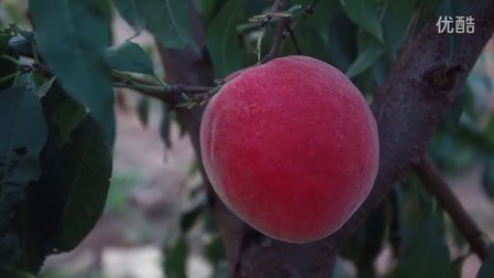 晚熟桃苗,超级礼品王、金秋红蜜、映霜红、永联蜜桃