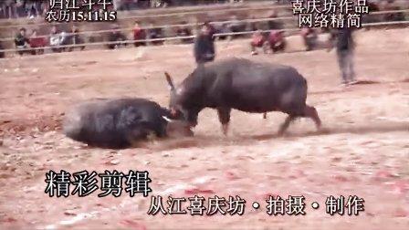 归江斗牛 农历2015.11.15 精彩剪辑 请选4:3比例观看