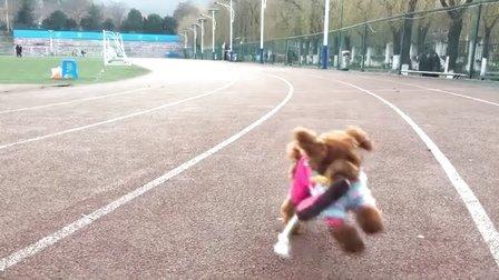 【火龙果的日常】狗狗外出放风,操场捡玩具!