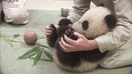 """圣迭戈动物园熊猫宝宝被""""确诊""""为急性可爱"""