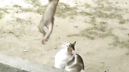 搞笑视频,小猴子倒悬树枝和小猫咪逗乐,笑死了