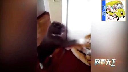 搞笑视频,猫咪闪电般猛击假老虎面部几十拳,好似职业拳击手