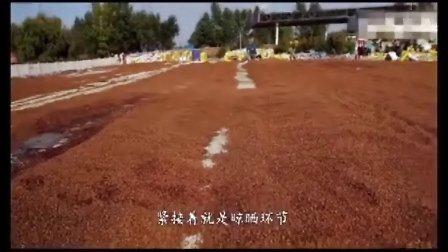 东北野生松子采摘加工过程 龙媛食品