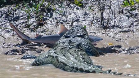 第40期 吓尿!6米巨鳄活吞鲨鱼瞬间