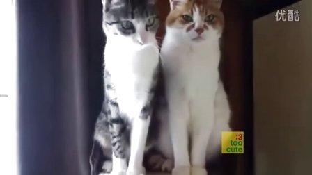 猫中的淡定哥 原来猫咪也不都是逗逼啊。发现最热视频萌萌哒 萌宠日常 动物搞笑 轻松时刻可爱的动物呆萌卖萌整蛊猴年春节春  晚